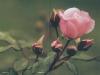Bestattungsinstitut Rose Trauerdruck, Veneto 4v